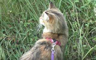 Как научить котенка гулять и ходить в туалет на улице