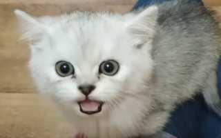 Почему не мяукает кот: причины пропажи голоса