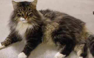 Почему у кошки появляются колтуны, как подстричь и как с ними бороться