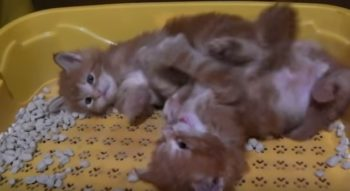 Сколько наполнителя сыпать в лоток котенку